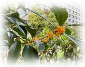 体調不調これも台風のせいか|金木犀の香り