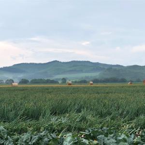 玉ねぎの収穫が始まります