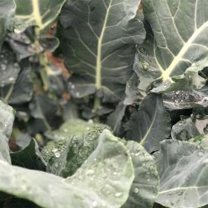 雨で一気に…収穫3日目