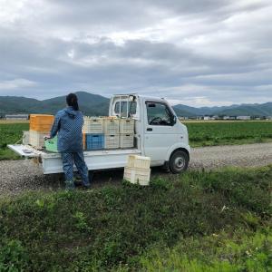 ブロッコリー、つづき(収穫2日目)