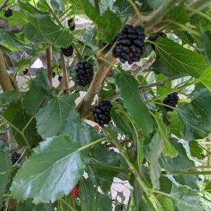家に果物の木があると楽しい