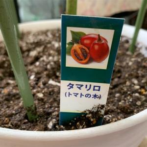 木になるトマト?気になるぅ!!