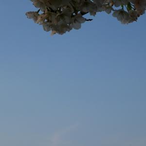 桜2020(2)小浜公園の桜