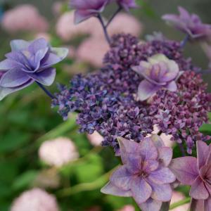 舞鶴自然文化園 ~個性豊かな紫陽花と美しい緑の公園~