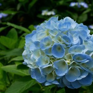 舞鶴自然文化園~アジサイの海~