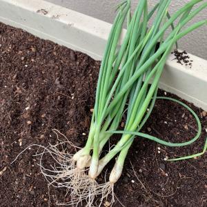 玉ねぎのプランター栽培を始めました!