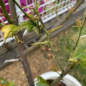 【柑橘類 栽培】トゲはどうすべき?