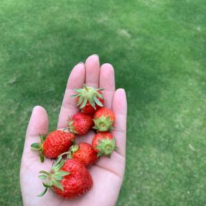 【家庭菜園】苺の収穫 未受粉、実が大きくならない理由