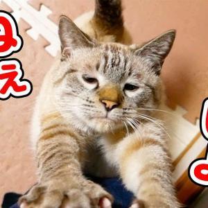 猫のおねだりがかわいすぎて仕事が手に付きません…