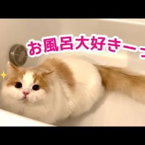 お風呂が大好きすぎる子猫が可愛い!【スコティッシュフォールド】