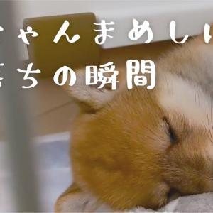 かわいすぎて悶絶!赤ちゃん豆柴の寝落ちの瞬間 | VLOG#02