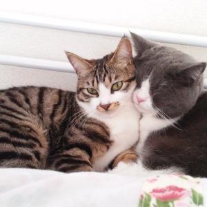 猫ブロガーコタローの妹ミミです。今日は代理で投稿ニャン