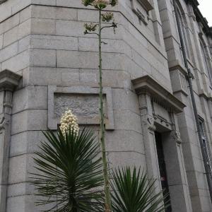 数十年に1度咲くという龍舌蘭と祇園祭散歩