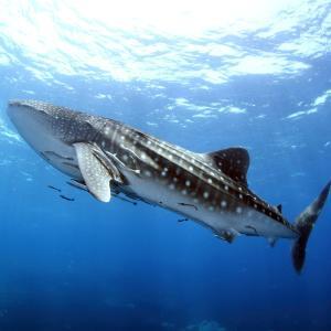 プランクトンを食べるサメがいる?水族館で見られる?