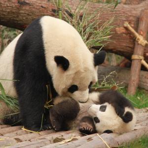 アドベンチャーワールドのパンダは何匹?その他日本のパンダはどこにいるかについても。