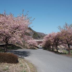渡良瀬渓谷の河津桜と花桃