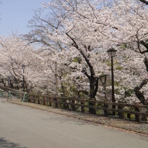 熊本城の桜は満開!