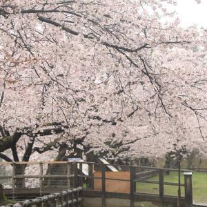 4月18日の弘前公園の桜・2