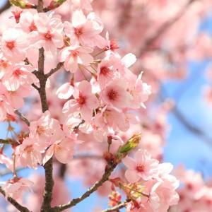 東公園の桜・2