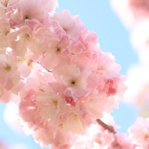 5月1日の弘前公園の桜・1