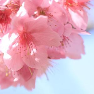 5月1日の弘前公園の桜・2