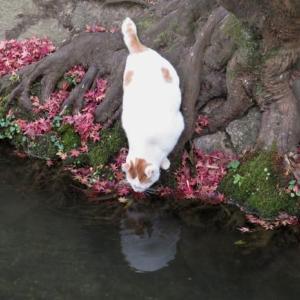 哲学の道の猫 疎水の水を飲むシロ
