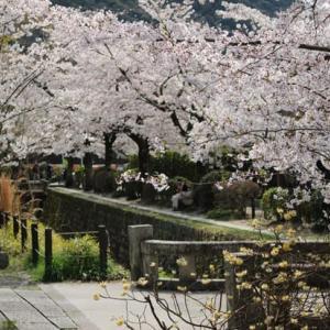 哲学の道の桜・満開