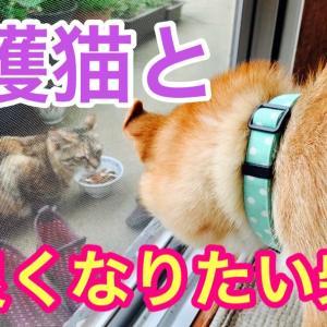 保護猫と仲良くなりたい柴犬