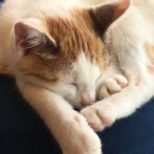 猫の鉢割れ(ハチワレ)って何のことか知ってますか?
