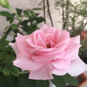 おっさんの独り晩飯 天ぷら  とミニ薔薇また咲いた