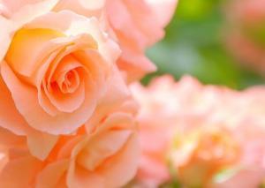 バラとラベンダーのアロマオイルを買って来ました。さっそく癒やされております。