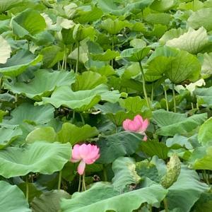 上野弁財天♡    巳の日限定守りと蓮の花の御朱印帳(〃▽〃)