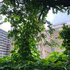 今年も桜並木を襲う葛の蔓。去年の行動は実らず。