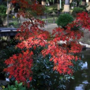 縮景園の紅葉 2(広島)