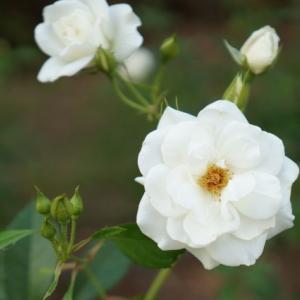 クリスマスローズの育て方・花が咲かない・植え替え・地上は?植え替え時期は?