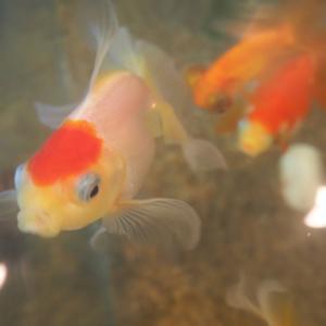 水換え後の金魚