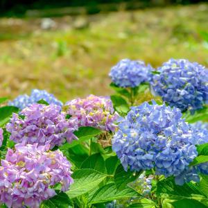 御津町自然観察公園の紫陽花が見頃に^ - ^→♪♪