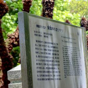 日本列島の北限賀茂神社のソテツ*\(^o^)/*