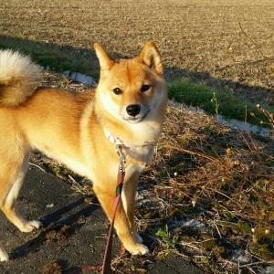 行きたい所に行く!自由奔放な柴犬の散歩~散歩ってこんなに大変だっけ?!