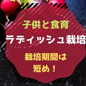 【食育】種からラディッシュ栽培!ベランダ菜園