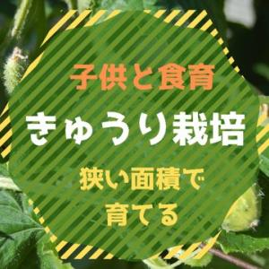 【食育】きゅうり栽培!ベランダ菜園〜花から実へ