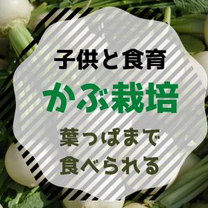 【食育】種からカブ栽培!ベランダ菜園