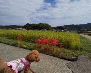 犬と一緒に行く奈良県明日香村柿の葉すし山の辺と彼岸花の風景