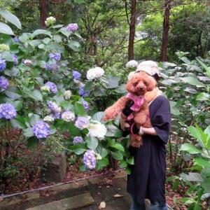 季節の風景 愛犬と行く奈良県橿原市久米寺のあじさい