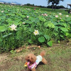 季節の風景 愛犬と一緒に行く奈良県橿原市藤原宮跡の蓮畑とキバナコスモス