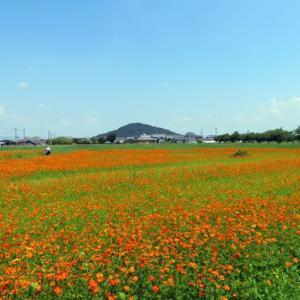 季節の風景 愛犬と一緒に行く奈良県橿原市藤原宮跡のキバナコスモス