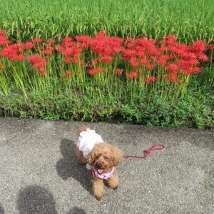 プチ情報 令和3年9月18日愛犬と一緒に行く彼岸花などが咲き乱れる明日香村飛鳥寺周辺
