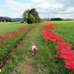 番外編 令和3年9月20日 愛犬と行く奈良県橿原市藤原宮跡のコスモスの開花状況と風景