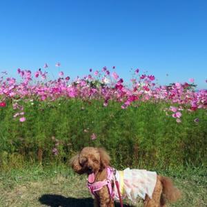 季節の風景 令和3年10月16日(土) 愛犬と行く奈良県橿原市藤原宮跡のコスモスの開花状況