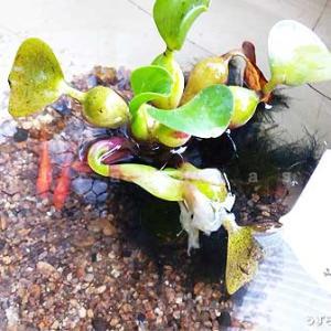雑記 がんばれ金魚どん in 梅雨どき